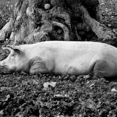 Pig and tree