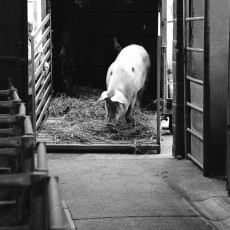Pig arriving at market