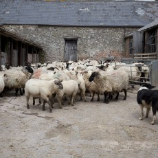 Sheep sorting