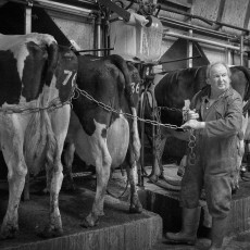Milking in an abreast parlour
