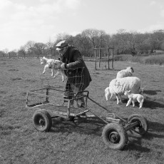 Moving Lambs 2