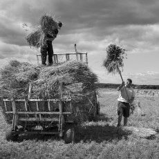 Loading thatching reed 2