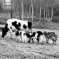 Family of calves