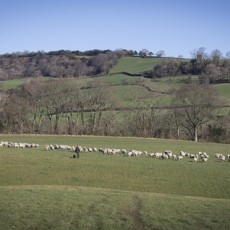 Sheep in the Marshwood Vale