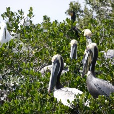 Pelicans by thier nests