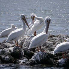 Visiting white pelicans