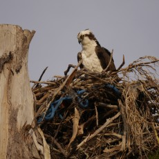 Osprey chick and job sheets!!
