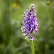 Fresh Spotted Orchid
