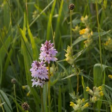 Orchids and Yellow Rattle