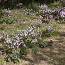 Woodland walk to Cantara Castle - lined with wild Cyclamen