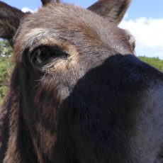 Feral donkey getting nosy