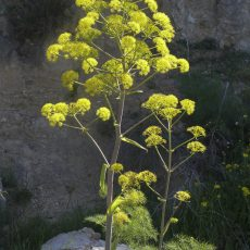 Fabulous Giant Fennel that was absolutely everywhere, so majestic .